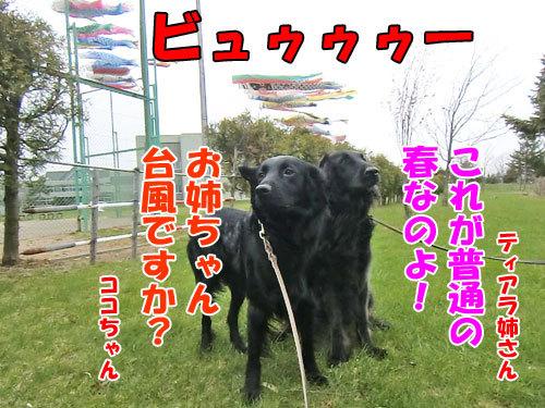 チャンスとティアラ+ココ-20130512-1-500.jpg