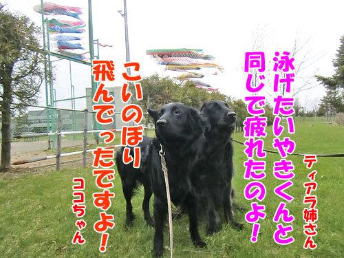 チャンスとティアラ+ココ-20130512-2-500.jpg