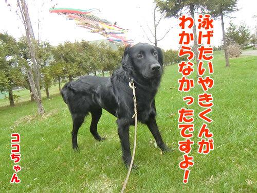 チャンスとティアラ+ココ-20130512-3-500.jpg