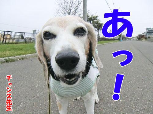 チャンスとティアラ+ココ-20130512-4-500.jpg