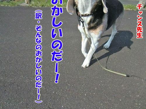 チャンスとティアラ+ココ-20130513-5-500.jpg