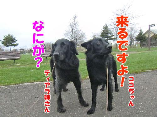 チャンスとティアラ+ココ-20130514-1-500.jpg