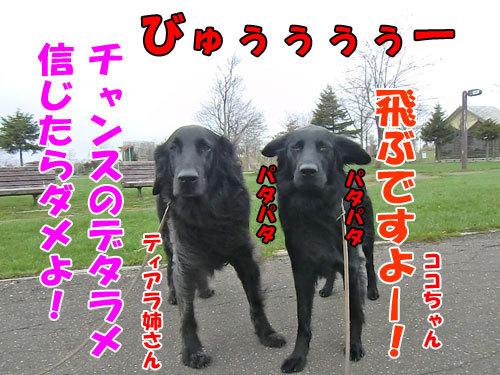 チャンスとティアラ+ココ-20130514-2-500.jpg