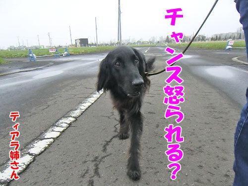 チャンスとティアラ+ココ-20130516-3-500.jpg