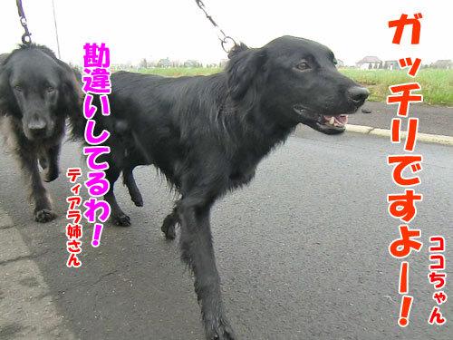 チャンスとティアラ+ココ-20130516-4-500.jpg