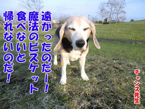チャンスとティアラ+ココ-20130517-1-500.jpg
