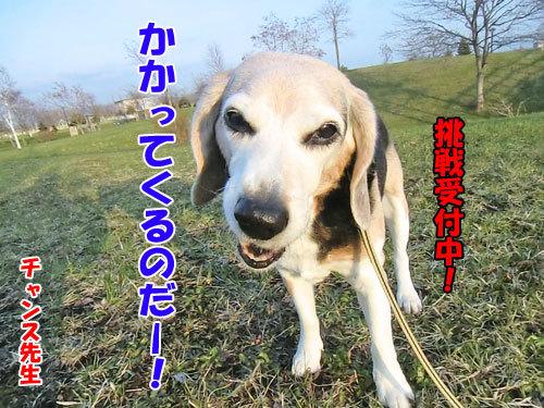 チャンスとティアラ+ココ-20130517-5-500.jpg