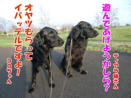 チャンスとティアラ+ココ-20130517-6-500.jpg