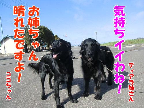 チャンスとティアラ+ココ-20130518-1-500.jpg