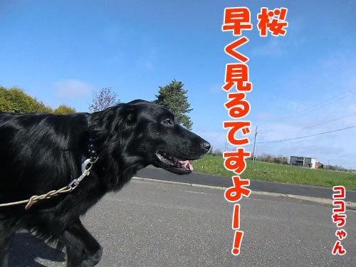 チャンスとティアラ+ココ-20130518-3-500.jpg