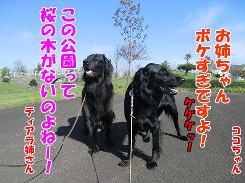 チャンスとティアラ+ココ-20130518-4-500.jpg