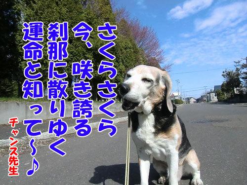 チャンスとティアラ+ココ-20130518-5-500.jpg