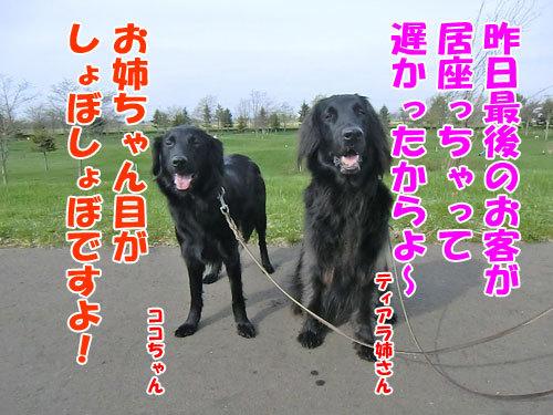チャンスとティアラ+ココ-20130519-3-500.jpg