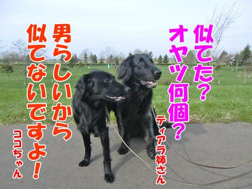 チャンスとティアラ+ココ-20130519-4-500.jpg