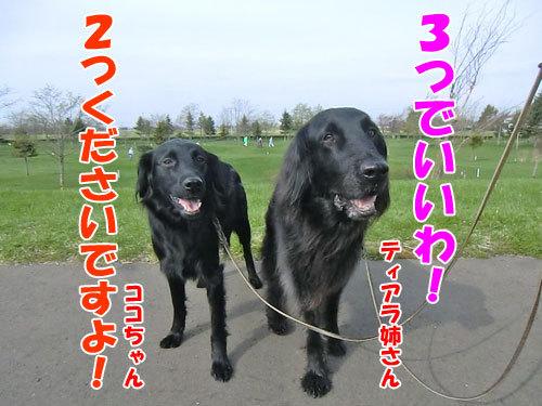 チャンスとティアラ+ココ-20130519-5-500.jpg