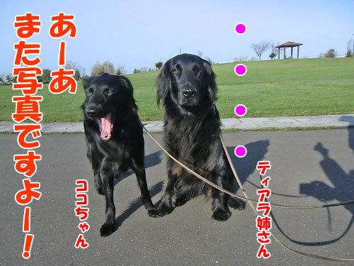 チャンスとティアラ+ココ-20130520-1-500.jpg