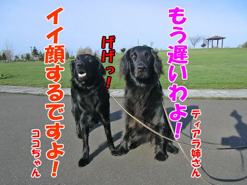 チャンスとティアラ+ココ-20130520-3-500.jpg