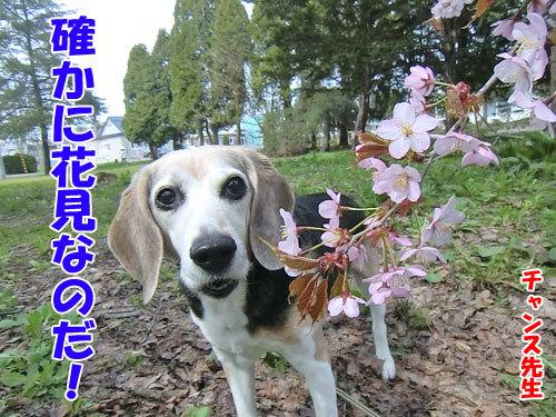 チャンスとティアラ+ココ-20130520-5-500.jpg