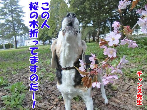 チャンスとティアラ+ココ-20130520-6-500.jpg