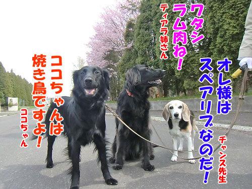 チャンスとティアラ+ココ-20130520-7-500.jpg