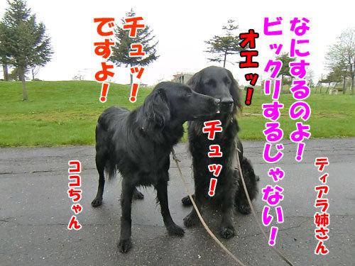 チャンスとティアラ+ココ-20130521-2-500.jpg