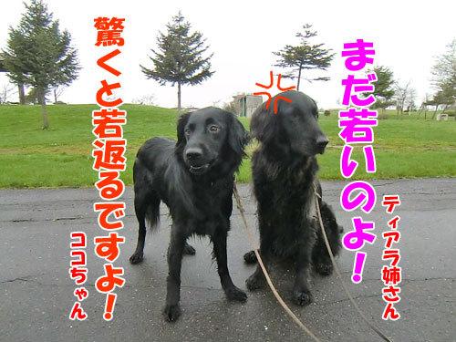 チャンスとティアラ+ココ-20130521-3-500.jpg