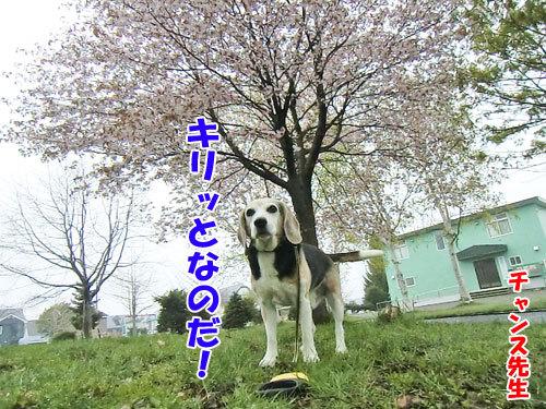 チャンスとティアラ+ココ-20130521-4-500.jpg
