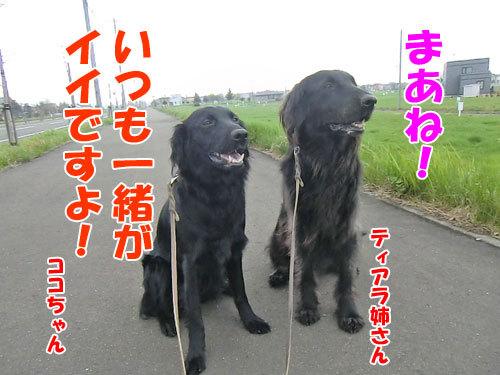 チャンスとティアラ+ココ-20130522-1-500.jpg