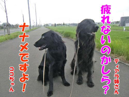 チャンスとティアラ+ココ-20130522-2-500.jpg