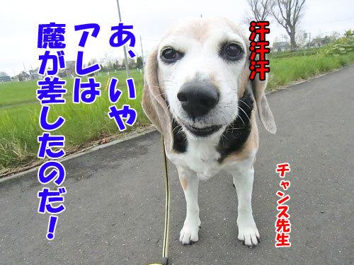 チャンスとティアラ+ココ-20130522-7-500.jpg