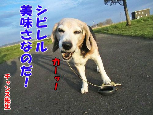 チャンスとティアラ+ココ-20130523-2-500.jpg