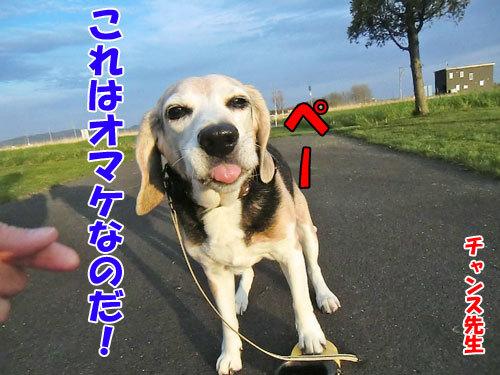 チャンスとティアラ+ココ-20130523-5-500.jpg
