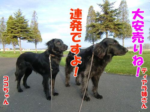 チャンスとティアラ+ココ-20130523-6-500.jpg