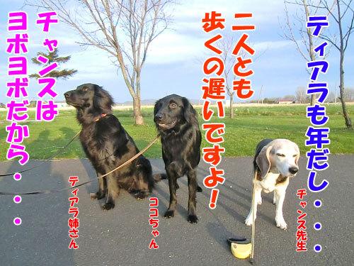 チャンスとティアラ+ココ-20130523-8-500.jpg