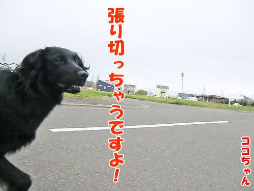 チャンスとティアラ+ココ-20130524-3-500.jpg