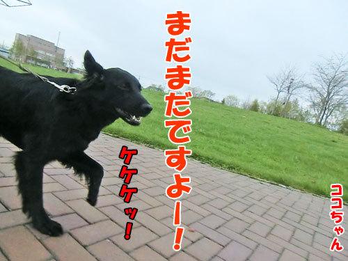 チャンスとティアラ+ココ-20130524-4-500.jpg