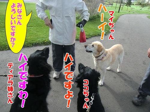 チャンスとティアラ+ココ-20130525-3-500.jpg