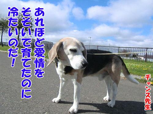 チャンスとティアラ+ココ-20130525-5-500.jpg