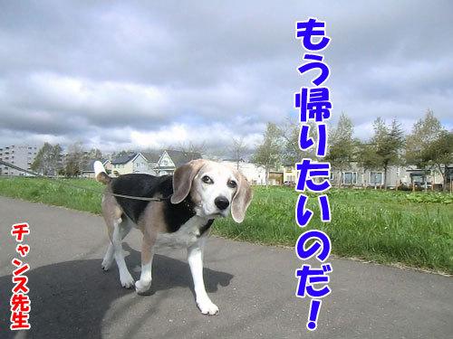 チャンスとティアラ+ココ-20130525-6-500.jpg
