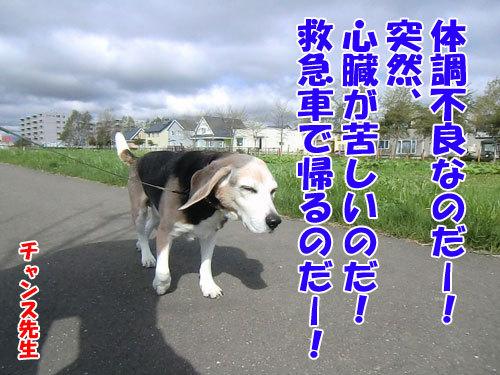 チャンスとティアラ+ココ-20130525-7-500.jpg