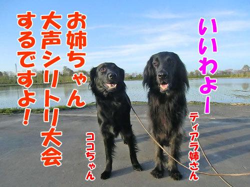 チャンスとティアラ+ココ-20130526-4-500.jpg