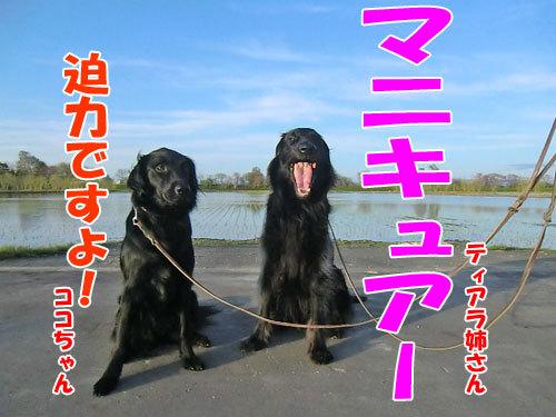 チャンスとティアラ+ココ-20130526-6-500.jpg