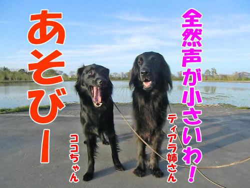 チャンスとティアラ+ココ-20130526-7-500.jpg