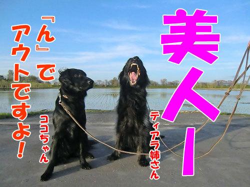 チャンスとティアラ+ココ-20130526-8-500.jpg