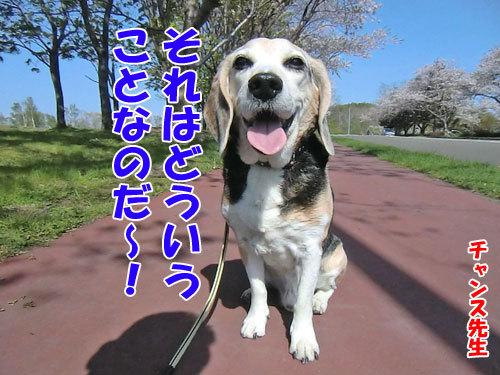 チャンスとティアラ+ココ-20130527-5-500.jpg