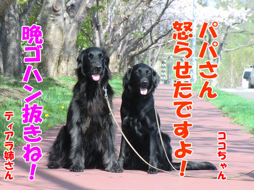 チャンスとティアラ+ココ-20130527-7-500.jpg
