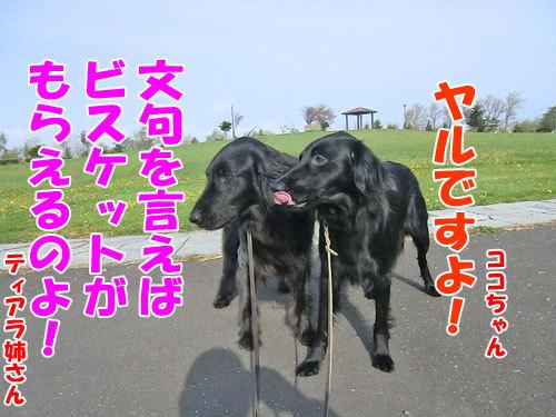 チャンスとティアラ+ココ-20130628-6-500.jpg