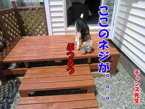 チャンスとティアラ+ココ-20130529-3-500.jpg