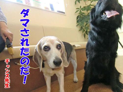 チャンスとティアラ+ココ-20130530-3-500.jpg