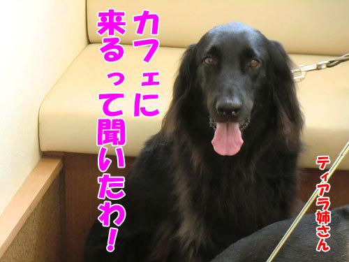 チャンスとティアラ+ココ-20130530-4-500.jpg